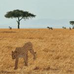 cheetah-is-safari